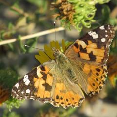 Бабочка Макро