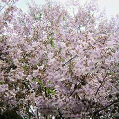Майская павлония в цвету.