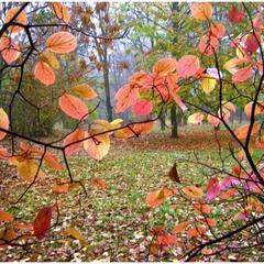 За занавесом листьев - осенний туман.
