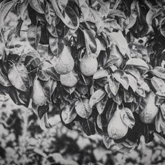 Груши в чорно-білому