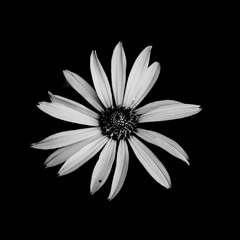 Квітка на чорно-білому фоні