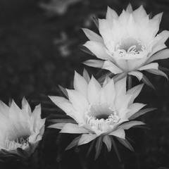 Цвіт кактуса