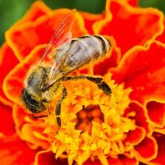 Бджілка на чорнобривці #