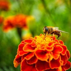 Бджоловидка звичайна