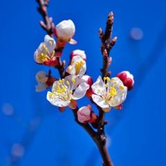 Цвіт абрикоси