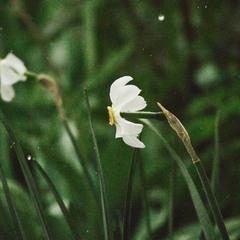 Нарцис під час дощу