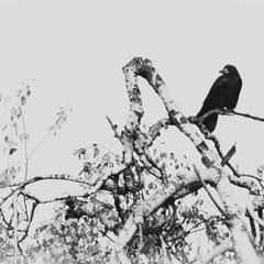 Ворона на дереві