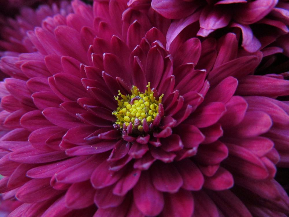 Прикольной картинки, картинки хризантемы в хорошем качестве