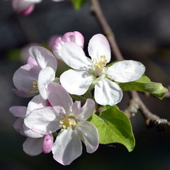 Яблуня цвіте.