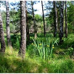 Іриси у весняному лісі.