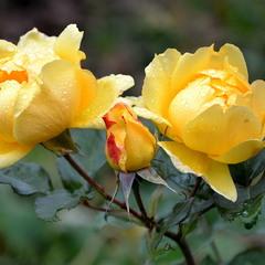 Троянди листопада