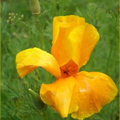 Жовтий дощ