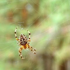 Чому павуки сидять вниз головою?