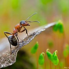 Спостереження мурахи