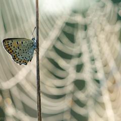 Метелик на фоні павутиння