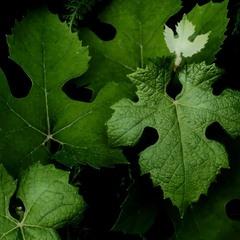 Новый  листочек  вырастает