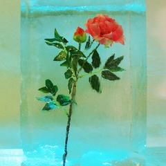 Роза во льдах
