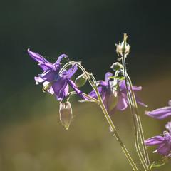 Орлики звичайні, аквіле́гія, (Aquilegia vulgaris)