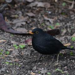 Самець чорного дрозда