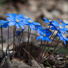 Печіночниця звичайна - Hepatica nobilis