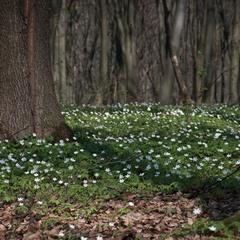 Анемона в лісі