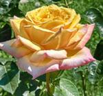 Мабуть не дарма є на світі троянди,