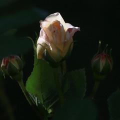 Троянди розкішні, колючі і ніжні