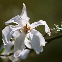 """Magnolias painted with Kodak colors"" #2"