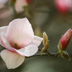 """Magnolias painted with Kodak colors"""