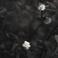 """""""Flowers in monochrome"""""""