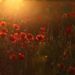 Червневі квіточки