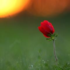 Червона квіточка