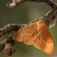 Рудий метелик