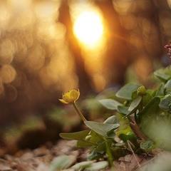 Квiти Сонця