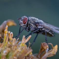 Старенькая муха..