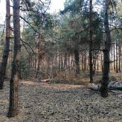 Сосновый воздух / Pine Air