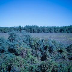Синий лес / Blue forest