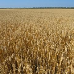 Золотое поле / Golden field