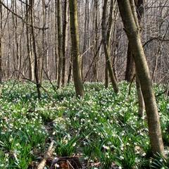 Весною у моєму лісі...