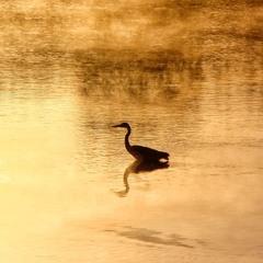В золотій воді...
