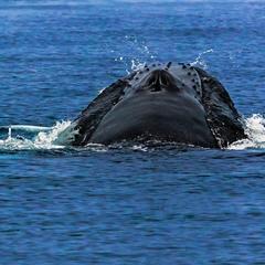 Северный ледовитый океан  Голубой  Гренландский кит