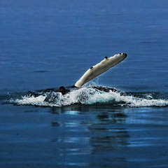 Рассекая воды океана   Голубой   Гренландский кит