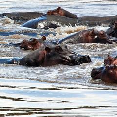 Кения  Река  Мара   Рай для бегемотов