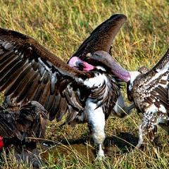 Пищевые разборки   Красноголоый и черноголовый африканские грифы