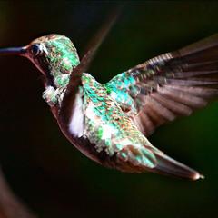 Колибри.  Самая маленькая(7-22см) и самая быстрая(около 80км. в час