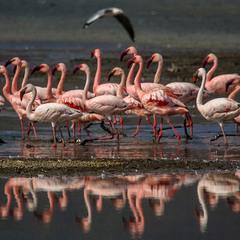 Кения  Озеро  Наккуру   Фламинго