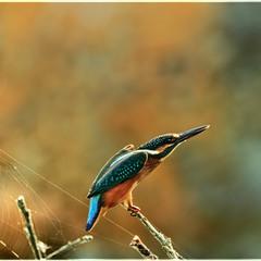 Еще раз о птице-рыболове...