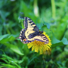 Papilio machaon, Махаон