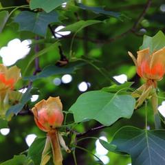 Почти тюльпаны и все на дереве!