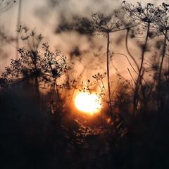 Укропное солнце